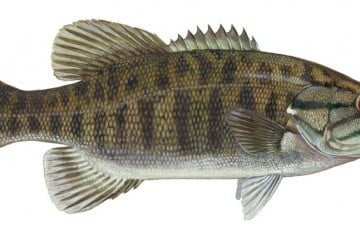 small-mouth-bass-2-1024x431