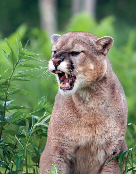 Mountain lion snarling a warning