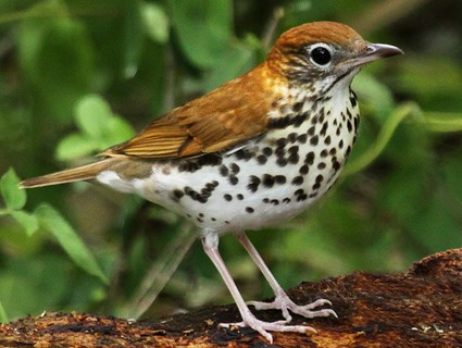 Avian Athletes Who Start Their >> The Ultimate Endurance Athlete The Wood Thrush S Long Journey Home