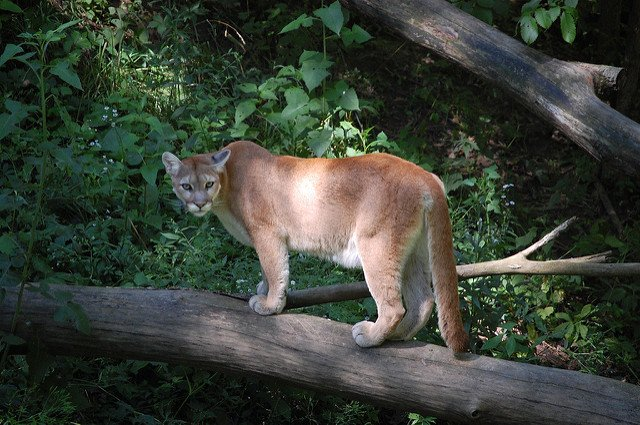 Are Mountain Lions Back in the Blue Ridge?
