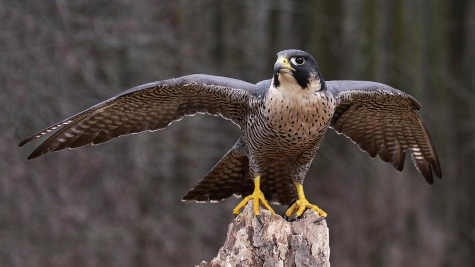 The Fastest Bird In The World Soars Back From Near Extinction