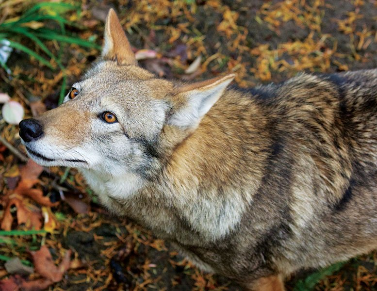 Breaking Red Wolf Rule Delayed Giving Wolves A Fighting Chance