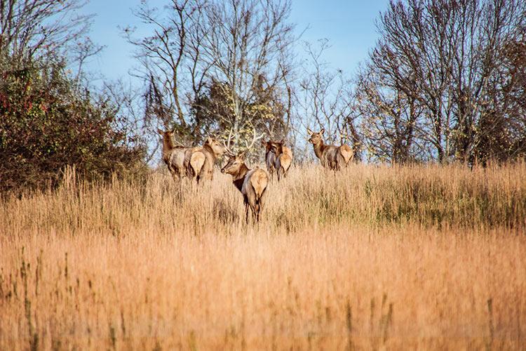Elk In Prestonburg Kentucky