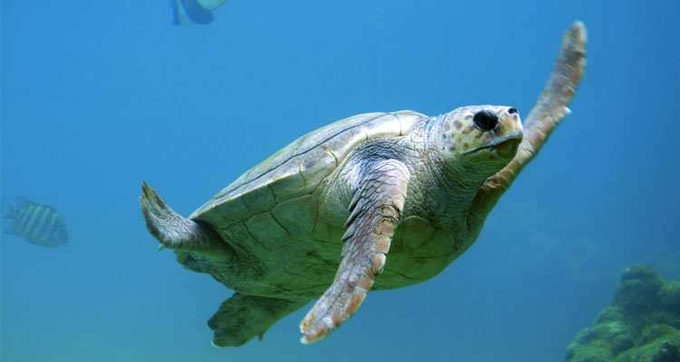 All-Female Populations of Sea Turtle Hatchlings